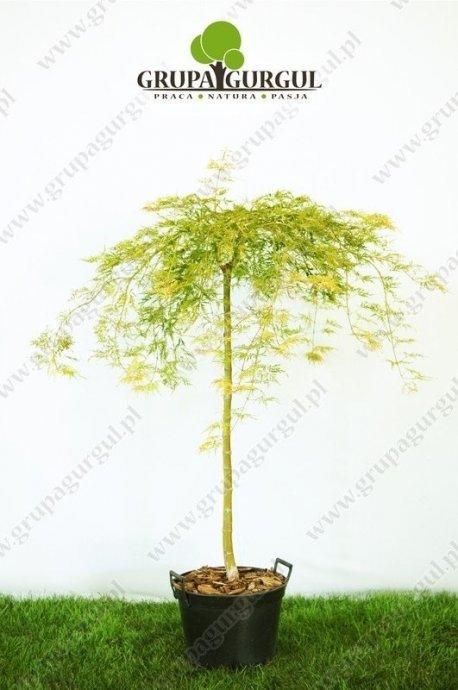klon-palmowy-dissectum-acer-palmatum-dissectum_f