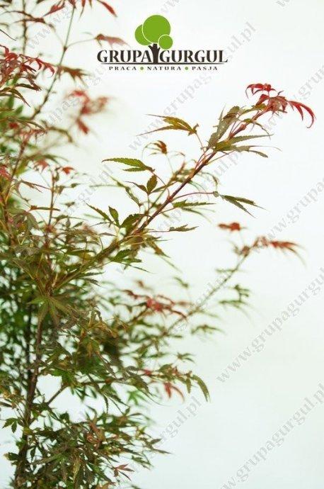 klon-palmowy-shaina-acer-palmatum-shaina.3_f