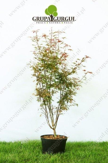 klon-palmowy-shaina-acer-palmatum-shaina_f