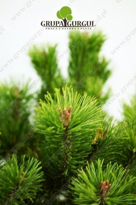Sosna kosodrzewina odm. pumilio – Pinus mugo var. pumilio