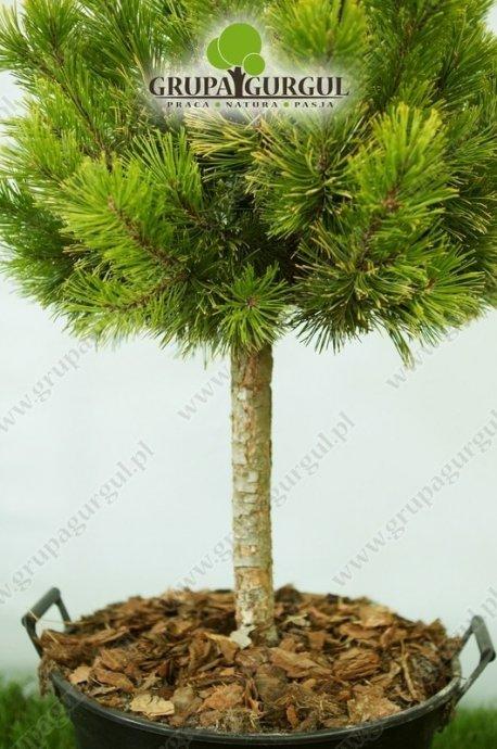 Sosna kosodrzewina 'Winter Gold' – Pinus mugo 'Winter Gold' – na pniu