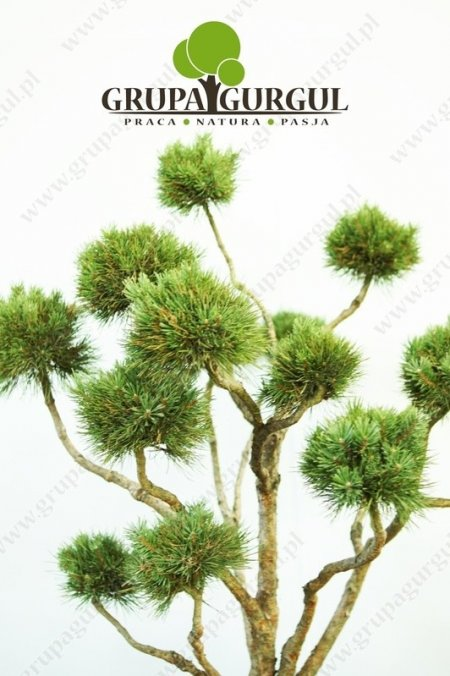 Sosna pospolita 'Watereri' – Pinus sylvestris 'Watereri' – Bonsai