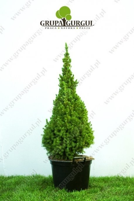 Świerk biały 'Conica' – Picea glauca 'Conica'