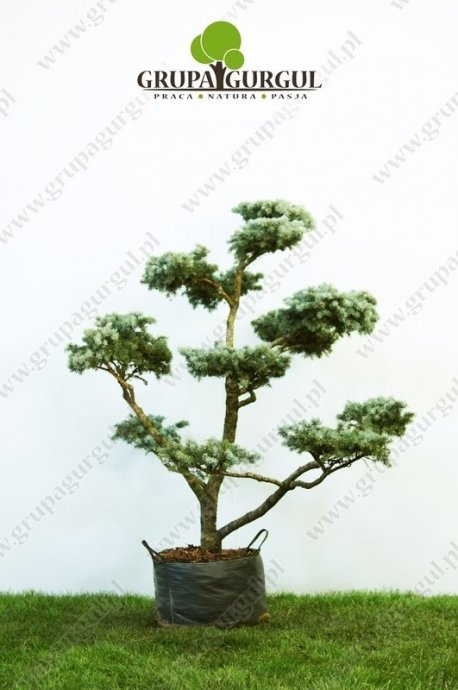 Świerk kłujący 'Montgomery' – Picea pungens 'Montgomery' – Bonsai