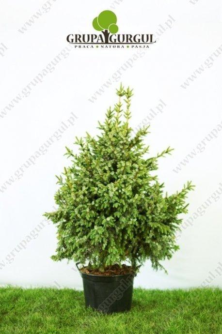 Świerk serbski 'Nana' – Picea omorika 'Nana'