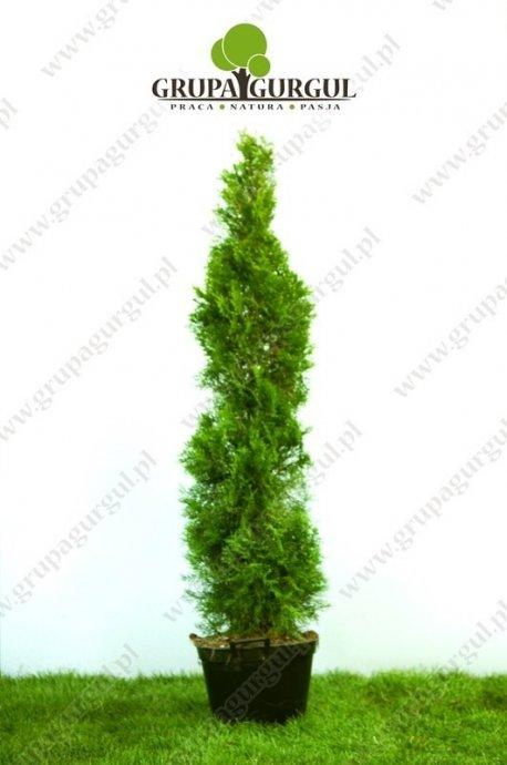 Żywotnik zachodni 'Smaragd' – Thuja occidentalis 'Smaragd'